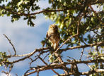 Symi - little owl in a tree close to Ag Paraskevi on the kalderimi above Yialos