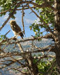 Symi - little owl in a tree close to Ag Paraskevi on the kalderimi above Yialos with Nimos Island behind