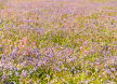 bluebells and pink campion in early summer, Skomer Island, Pembrokeshire