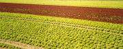 field of early lettuce (February), Roussillon, southern France